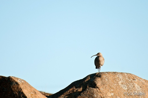 Iclandic Bird